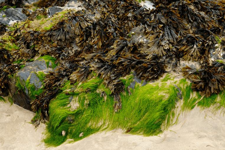 seaweed coalition